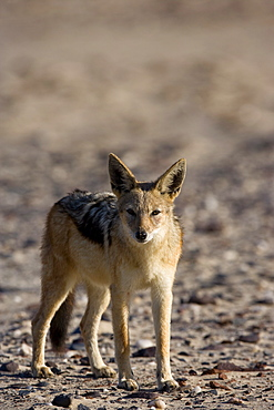 Black-backed jackal (Canis mesomelas), Skeleton Coast, Namibia, Africa