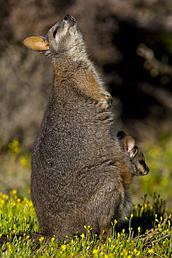 Tammar wallaby (Macropus eugenii), Kangaroo Island, South Australia, Australia, Pacific