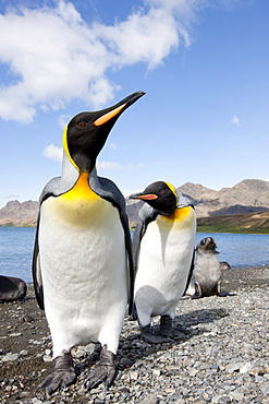 King penguins (Aptenodytes patagonicus), Husvik Island, Antarctic, Polar Regions