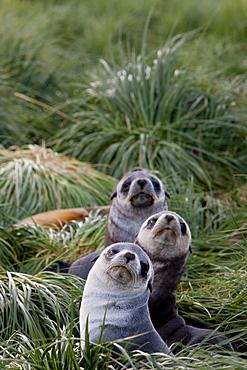 Antarctic fur seals (Arctocephalus gazella), Husvik Island, Antarctic, Polar Regions