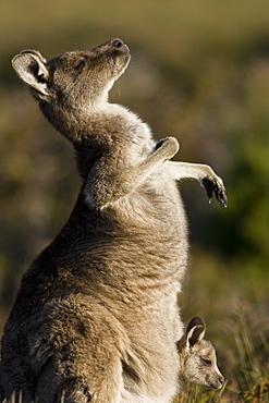 Eastern Grey Kangaroo, (Macropus giganteus), Wilsons Promontory, Victoria, Australia