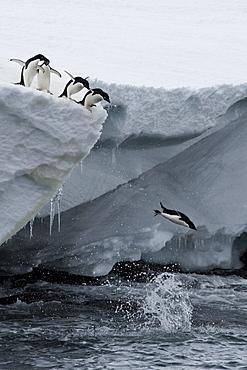 Adelie penguins (Pygoscelis adeliae), Port Martin, Antarctica, Polar Regions