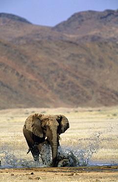 Desert-dwelling Elephant, (Loxodonta africana africana), Dry River, Hoanib, Kaokoland, Namibia