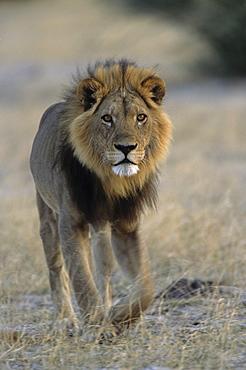 Lion (Panthera leo), Chobe National Park, Savuti, Botswana, Africa