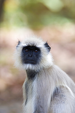 Common langur, Presbytis entellus, Bandhavgarh National Park, Madhya Pradesh, India, Asia