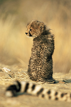 Cheetah cub (Acinonyx jubatus), Erongo region, Namibia, Africa