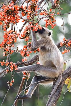 Common langur (Presbytis entellus), Bandhavgarh Tiger Reserve, Madhya Pradesh state, India, Asia