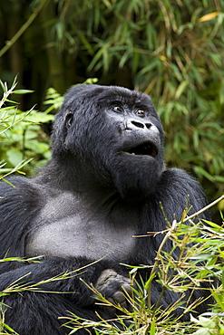 Silverback, mountain gorilla (Gorilla gorilla beringei), Rwanda (Congo border), Africa