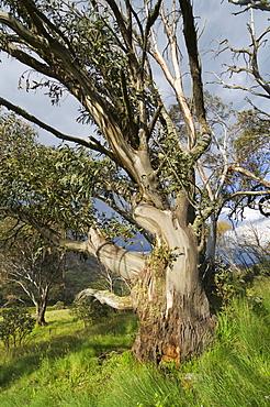 Snow gum, Kosciuszko National Park, New South Wales, Australia, Pacific