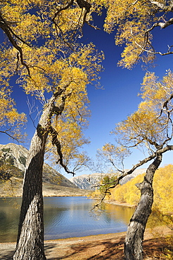 Willow trees, Lake Pearson, Canterbury high country, South Island, New Zealand, Pacific