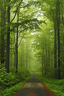 Beech forest, Erzgebirge, Saxony, Germany, Europe