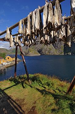 Cod drying, Nusfjord, Flakstadoya, Lofoten Islands, Norway, Scandinavia, Europe