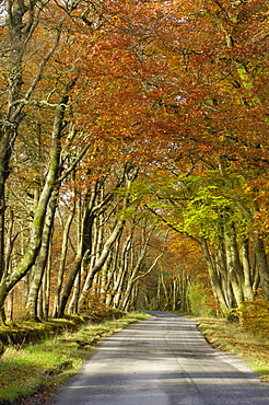 Avenue of beech trees, near Laurieston, Dumfries and Galloway, Scotland, United Kingdom, Europe