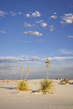 Yucca plants on a dune, White Sands National Monument, New Mexico, United States of America, North America