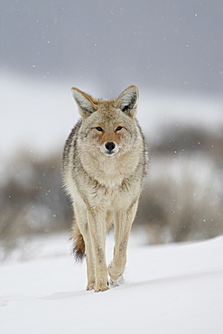 Coyote (Canis latrans) in snow, Yellowstone National Park, Wyoming, United States of America, North America