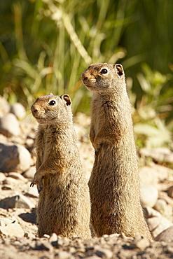 Two Richardson ground squirrel (Citellus richardsoni), Grand Teton National Park, Wyoming, United States of America, North America