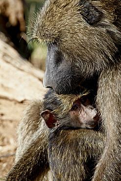 Olive baboon (Papio cynocephalus anubis) mother and infant, Samburu National Reserve, Kenya, East Africa, Africa