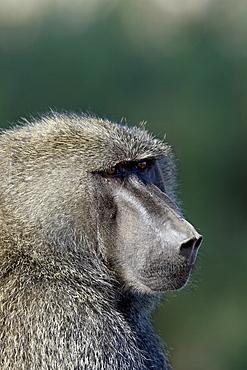 Olive baboon (Papio cynocephalus anubis), Samburu National Reserve, Kenya, East Africa, Africa