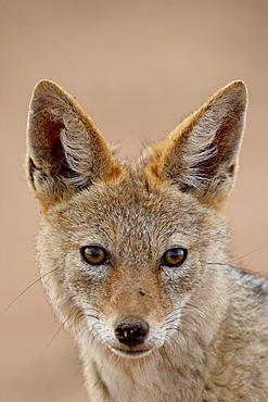 Black-backed jackal (Silver-backed jackal) (Canis mesomelas), Kgalagadi Transfrontier Park, encompassing the former Kalahari Gemsbok National Park, South Africa, Africa