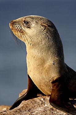Cape fur seal (South African fur seal) (Arctocephalus pusillus), Elands Bay, Western Cape Province, South Africa, Africa