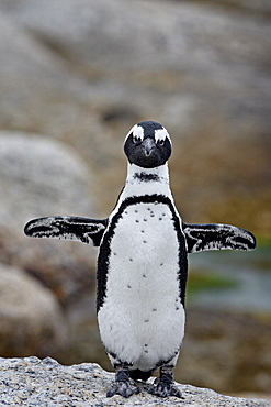 African penguin (Spheniscus demersus), Simons Town, Cape Province, South Africa, Africa