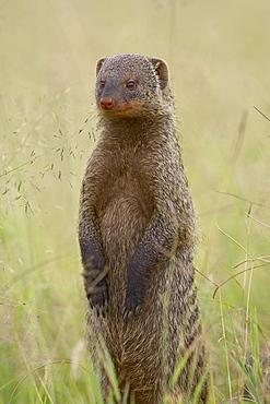 Banded mongoose (Mungos mungo), Serengeti National Park, Tanzania, East Africa, Africa