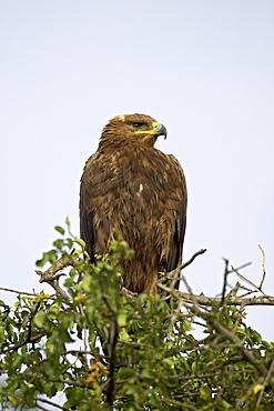 Steppe eagle (Aquila nipalensis), Serengeti National Park, Tanzania, East Africa, Africa