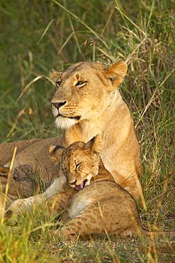 Lioness (Panthera leo) with cub, Masai Mara National Reserve, Kenya, East Africa, Africa