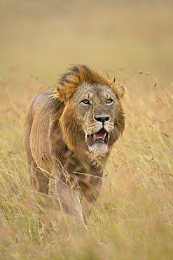 Lion (Panthera leo), Masai Mara National Reserve, Kenya, East Africa, Africa
