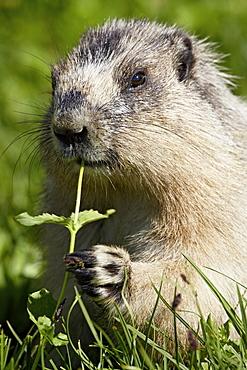 Hoary marmot (Marmota caligata), Glacier National Park, Montana, United States of America, North America