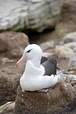 Black-browed albatross (Diomedea melanophris) on nest, New Island, Falkland Islands, South America