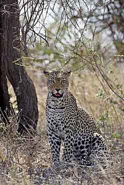 Leopard (Panthera pardus), Samburu National Reserve, Kenya, East Africa, Africa