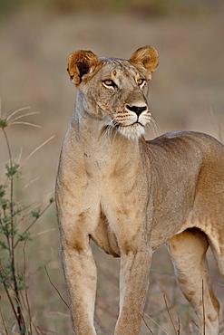 Lioness (Panthera leo), Samburu National Reserve, Kenya, East Africa, Africa