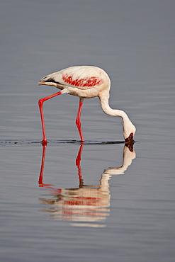 Lesser flamingo (Phoeniconaias minor), Lake Nakuru National Park, Kenya, East Africa, Africa