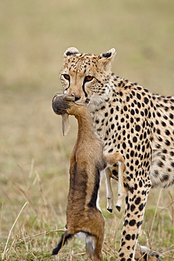 Cheetah (Acinonyx jubatus) with baby Thomsons Gazelle (Gazella thomsonii), Masai Mara National Reserve, Kenya, East Africa, Africa