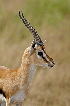 Male Thomsons Gazelle (Gazella thomsonii), Masai Mara National Reserve, Kenya, East Africa, Africa