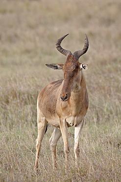 Coke's hartebeest (Alcelaphus buselaphus cokii), Masai Mara National Reserve, Kenya, East Africa, Africa