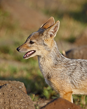 Black-backed jackal (silver-backed jackal) (Canis mesomelas) pup, Masai Mara National Reserve, Kenya, East Africa, Africa