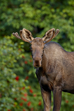 Young bull moose (Alces alces), Kincaid Park, Anchorage, Alaska, United States of America, North America