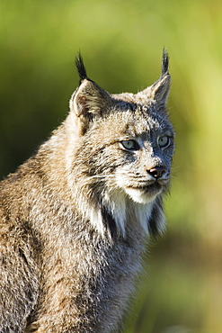 Close-up of a lynx (Lynx canadensis) sitting, in captivity, Sandstone, Minnesota, United States of America, North America