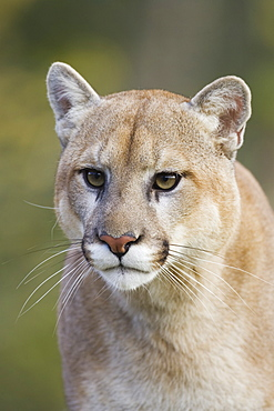Mountain lion (cougar) (Felis concolor) staring, in captivity, Minnesota Wildlife Connection, Minnesota, United States of America, North America