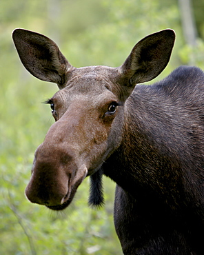 Cow moose (Alces alces), Glacier National Park, Montana, United States of America, North America