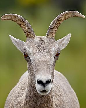Bighorn sheep (Ovis canadensis) ewe, Waterton Lakes National Park, Alberta, Canada,  North America