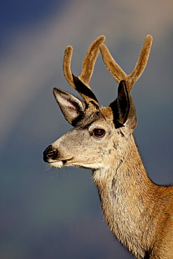 Mule deer (Odocoileus hemionus) buck in velvet, Glacier National Park, Montana, United States of America, North America