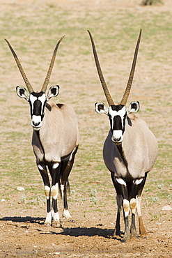 Two gemsbok (South African oryx) (Oryx gazella), Kgalagadi Transfrontier Park, encompassing the former Kalahari Gemsbok National Park, South Africa, Africa