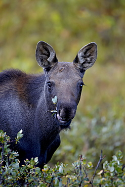 Moose (Alces alces) calf eating, Colorado State Forest State Park, Colorado, United States of America, North America