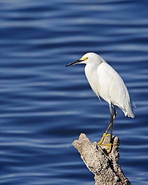 Snowy egret (Egretta thula), Sonny Bono Salton Sea National Wildlife Refuge, California, United States of America, North America