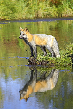 Cross phase red fox (Vulpes fulva) (cross fox) at waters edge with reflection, Minnesota Wildlife Connection, Sandstone, Minnesota, United States of America, North America
