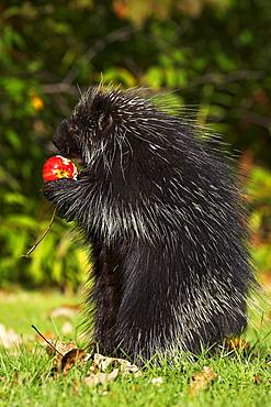 Capitive porcupine (Erethizon dorsatum) sitting on hind feet eating an apple, Sandstone, Minnesota, United States of America, North America