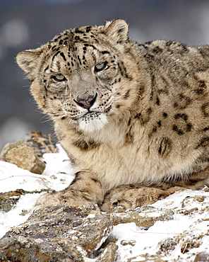 Snow Leopard (Uncia uncia) in the snow, in captivity, near Bozeman, Montana, United States of America, North America